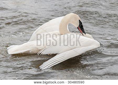 Trumpeter Swan (Cygnus buccinator) Spread Wings