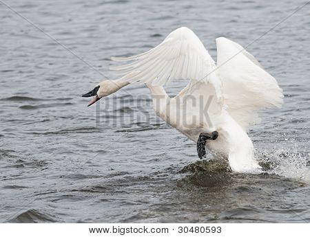 Trumpeter Swan (Cygnus buccinator) On The Attack