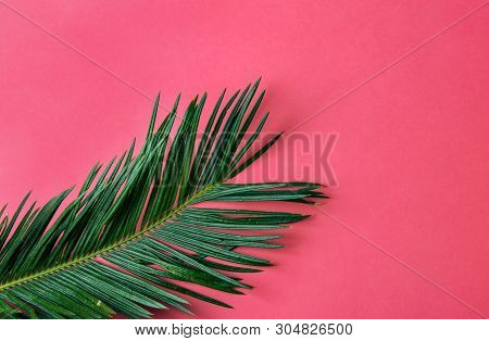 Beautiful Feathery Green Palm Leaf On Vibrant Fuchsia Pink Wall Background. Summer Tropical Creative