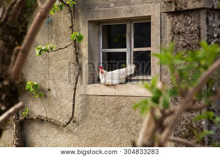 White Hun Sitting On The Window Sill In The Coutry Side House