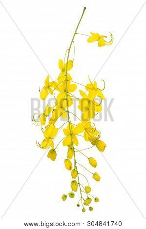 Cassia Flower, Cassia Flower Isolated On White Background.