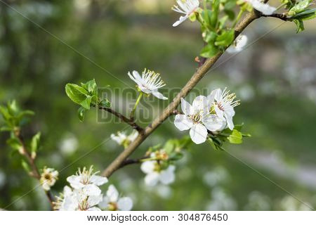 Snow-white Flowers Of Cherrytree Bloomed Among Young Green Leaves In The Spring Garden