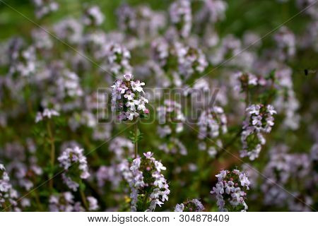 Thymus Vulgaris Common Thyme, German Thyme, Garden Thyme On A Organic Garden. Thymus Vulgaris Is A S