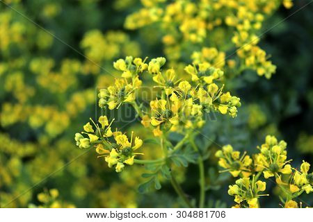 Ruta Graveolens, Commonly Known As The, Common Rue Or Herb-of-grace, Is A Species Of Ruta Grown As A