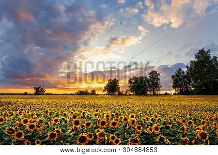 Romantic Sunflower Field In The Sunset With Impressive Sky. Romantisches Sonnenblumenfeld Im Sonnenu