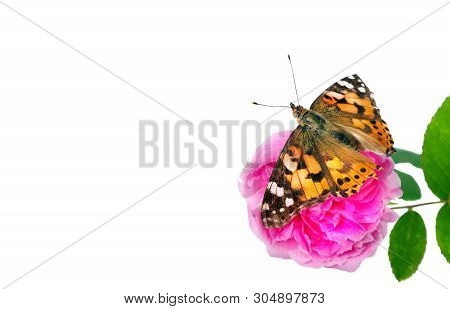Butterfly On A Flower. Beautiful Butterfly Painted Lady On Flower Isolated On A White. Copy Spaces.