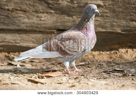 Colourful Feral Pigeon out in nature during the day. poster