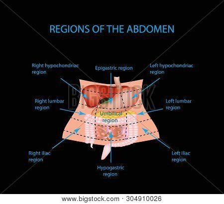 Abdominal Region. The Liver, Gallbladder, Pancreas, Stomach, Duodenum, Intestine, Small Intestine, L