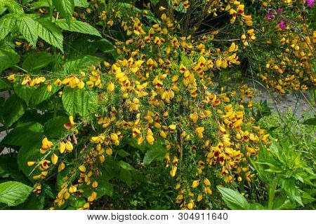 Yellow And Red Flowers On A Cytisus Scoparius, A Perennial Leguminous Shrub Also Known As Common Bro
