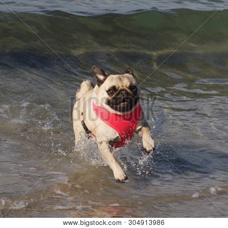 Happy Pug Splashes In Water At Beach, Pet Enjoys Beach Lifestyle, Cute Happy Pug Running Towards Own