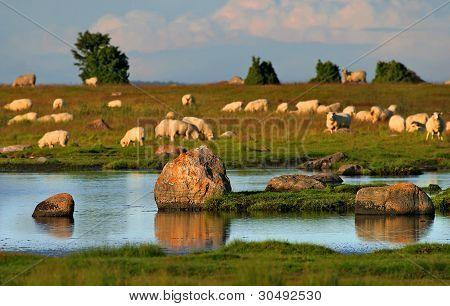 Sheep On Seaside