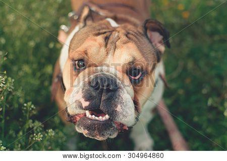 Dog Training. Happy Bulldog Runs In The Meadow. Funny Smiling English Bulldog. Cute Young English Bu