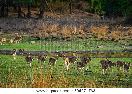 Alert Spotted Deer Herd After An Alarm Call By A Sambar Deer In Rajbaug Lake At Ranthambore National