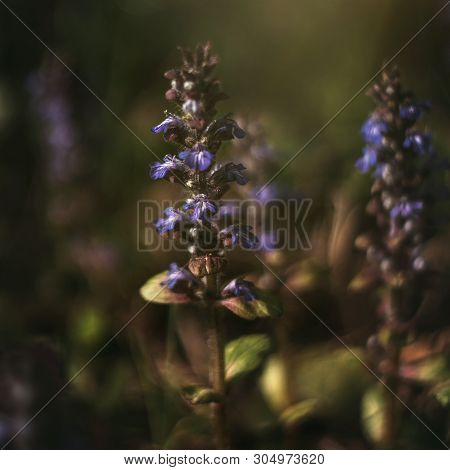Blooming Blue Purple Bugle, Ajuga Reptans, Bugleweed On Green Background. Catlins Giant On A Summer