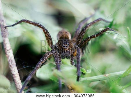 Dolomedes Fimbriatus, Fishing Spider, Raft Spider, Water Spider, Pisaura In Grass On Green Backgroun