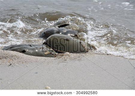 Horseshoe Crabs On The Beach Mating Season