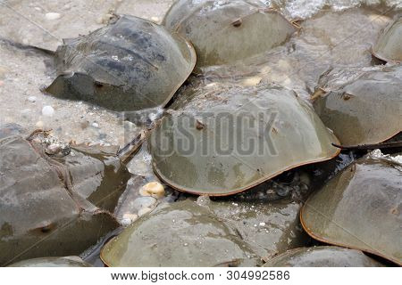 A Group Of Male And Female Horseshoe Crabs On The Beach