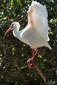 An Ibis sitting on a brach getting ready to fly poster