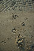 Dog tracks at the beach soft sand poster
