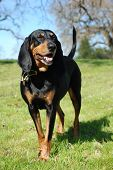 Black and Tan Coonhound portrait outdoors, full body standing. poster