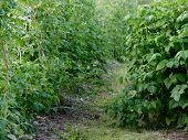unripe raspberry. flowers and ovaries. garden berry poster