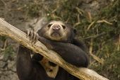 Asian Sun Bear resting on log while viewing the world poster