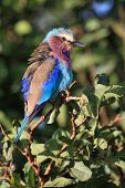 Lilac brested roller (coracias caudata) in serengeti national park Tanzania poster