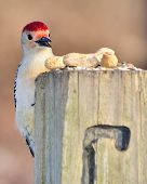 Closeup Of A Red-bellied Woodpecker eating bird seed on a post. poster