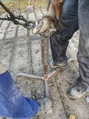 Farrier or blacksmith using rasp,  hoof knife and hoof cut nippers. Clearing of hind horse leg hold in steel holder. poster