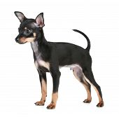 Russian toy terrier on a white background poster