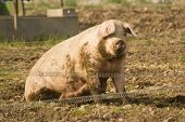 Pig sitting on mud surounded by an electic fence. poster