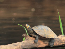 River Schildkröte