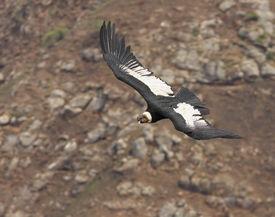 Condor bei felsigen Hintergrund