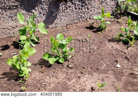 Young Pea Shoots In The Garden. Concept Of Agriculture. Pea Sprouts In The Garden. Green Head Shoots