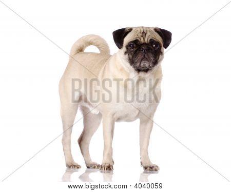 Pug Dog Standing