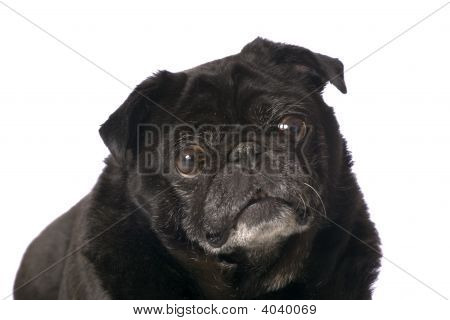 Portrait Black Pug