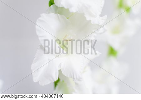 Delicate White Gladiolus Flowers In Full Bloom Near A Grew Wall In A Room