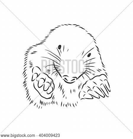 Mole. Sketch. Engraving Style. Vector Illustration. Mole Vector Sketch Illustration
