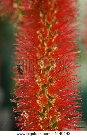 Bottle Brush Flowers With Bee