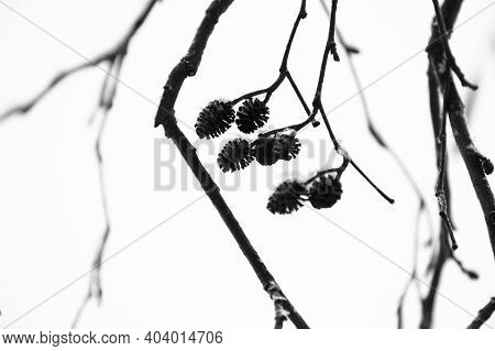 Alder Cones Close Up Over White Blurred Background, Abstract Winter Natural Photo