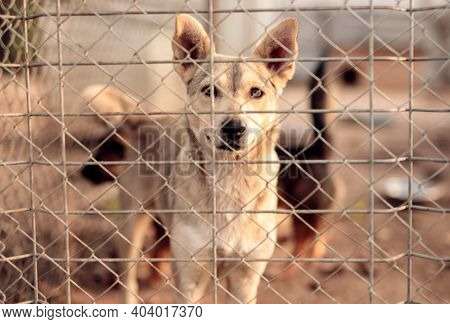 Obedient Dog Standing Behind Fence And Looking At Camera While Waiting For New Owner In Enclosure In