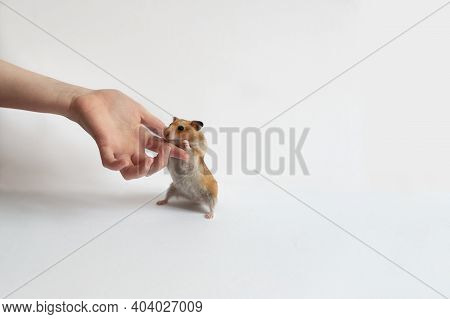 A Man With His Hand Supports The Paws Of A Red Hamster With A Gray Tummy, The Hamster Stands On Its