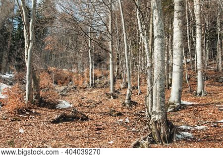 Forest Landscape With Fallen Leaves On Ground. Early Spring In Dolomites Apls In Sunny Day, Italy