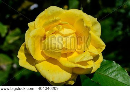 Close Up Of One Large And Delicate Vivid Yellow Rose In Full Bloom In A Summer Garden, In Direct Sun