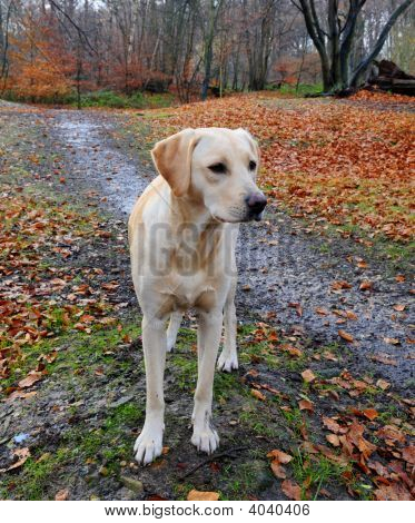 shot of a cute yellow labrador alone in the forest poster