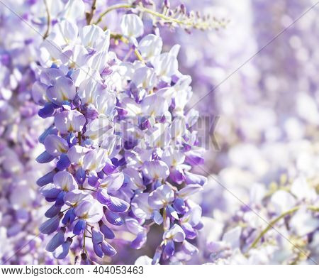 Close up of Wisteria flowers on defocused natural background. Shallow DOF. Selective focus.
