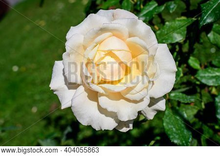 One Large And Delicate White Rose In Full Bloom In A Summer Garden, In Direct Sunlight, With Blurred