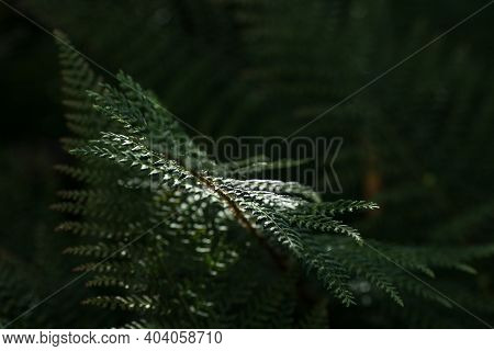Selective Focus Of Fern Leaf Isolated In Dark Background. Natural Ferns Pattern. Beautiful Backgroun