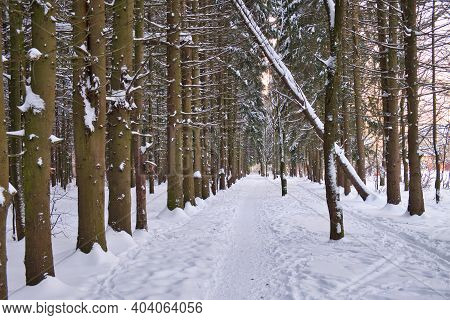 Winter Path Among Trees In Snowy Forest. Natural Winter Forest Landscape In Evening Sunlight. Rhytm