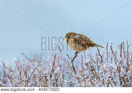 A Small Sparrow On The Tip Of A Branch In A Very Strong Frost. The Branches Are Covered With Frost.